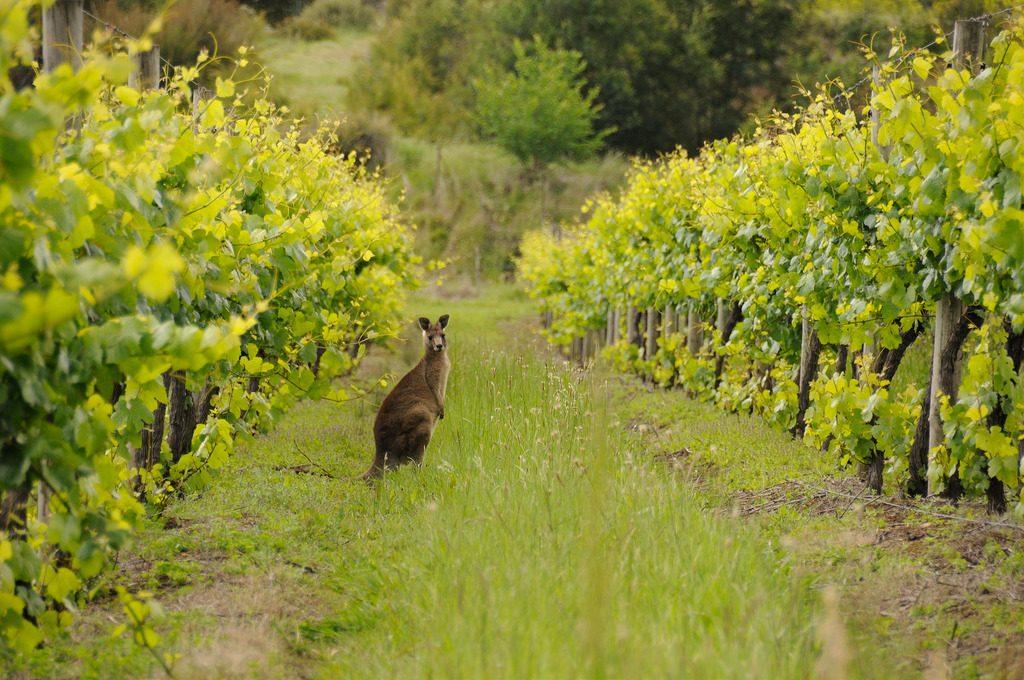 Australské vinice střeží bdělí klokani